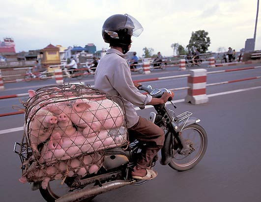 How to transport pigs